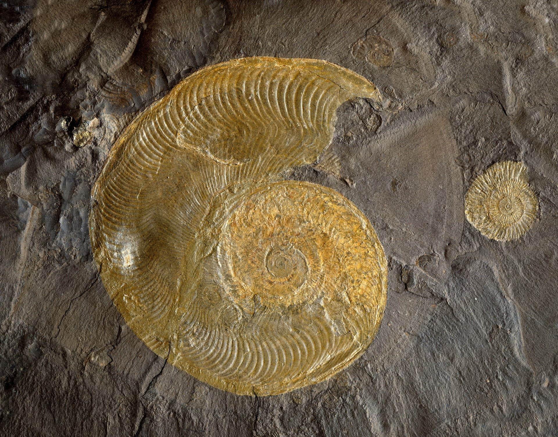 steinoel vitalberg ammonit